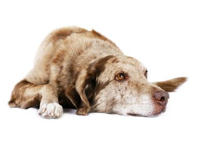 Chequeo Geriatrico Perro