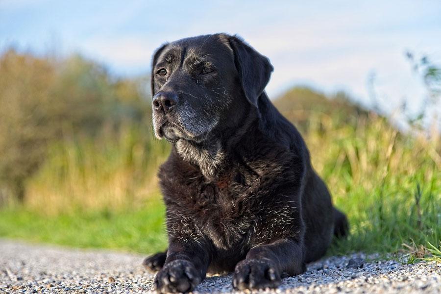 ¿Por qué hacer un chequeo geriátrico a mi animal doméstico?