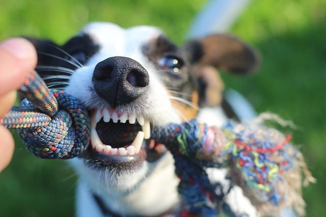 Cómo prevenir el sarro en la dentadura de un perro.
