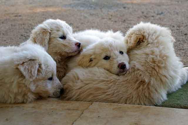 El embarazo y el parto de las hembras caninas