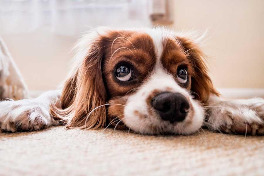 Síntomas de los perros con depresión: aprende a detectarlos.